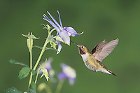 Broad-tailed Hummingbird, Selasphorus platycercus,male in flight feeding on Blue Columbine(Aquilegia coerulea),Rocky Mountain National Park, Colorado, USA