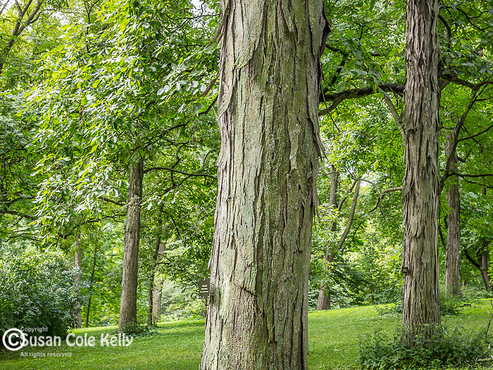 Shagbark Hickory at the Arnold Arboretum in the Jamaica Plain neighborhood, Boston, Massachusetts, USA