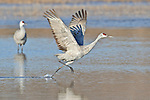 A Sandhill Crane (Grus canandensis) splashes to a take off at the Bosque del Apache National Wildlife Refuge, near Socorro, New Mexico.