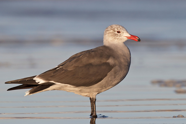 Heermann's Gull - Larus heermanni - non-breeding adult