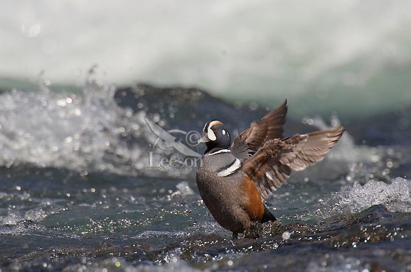 Harlequin Duck drake (Histrionicus histrionicus) drying wings along fast flowing mountain stream.  Western U.S.  Spring.