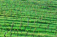 Vineyard in April on hills of Tuscany near town of San Gimignano, Tuscany, Italy, AGPix_0095.