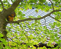A douglas squirrel (Tamiasciurus douglasii) is sitting on branch of Japanese Maple (Acer palmatum) eating a nut during the summer.  The tiled roof of the Pavilion building in the Portland Japanese Garden is seen in the background.