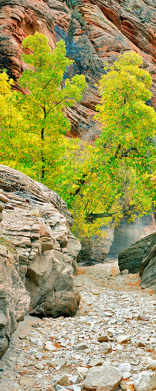Box Elder Maple in fall color in small canyon in Zion National Park, Utah