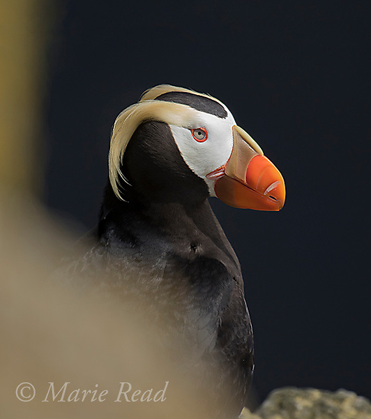 Tufted Puffin (Fratercula cirrhata), closeup, St. Paul Island, Pribilofs, Alaska, USA