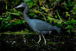 As seen from a kayak, a Blue Heron hunts in the Silver River, Florida, in December.