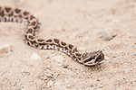 San Diego, California; a head shot of a juvenile Western Rattlesnake stretched across a dirt path with a recent meal enlarging its midsection