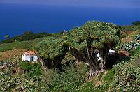 Spanien, Kanarische Inseln,  La Palma, Drachenbäume (Drago) bei La Tosca