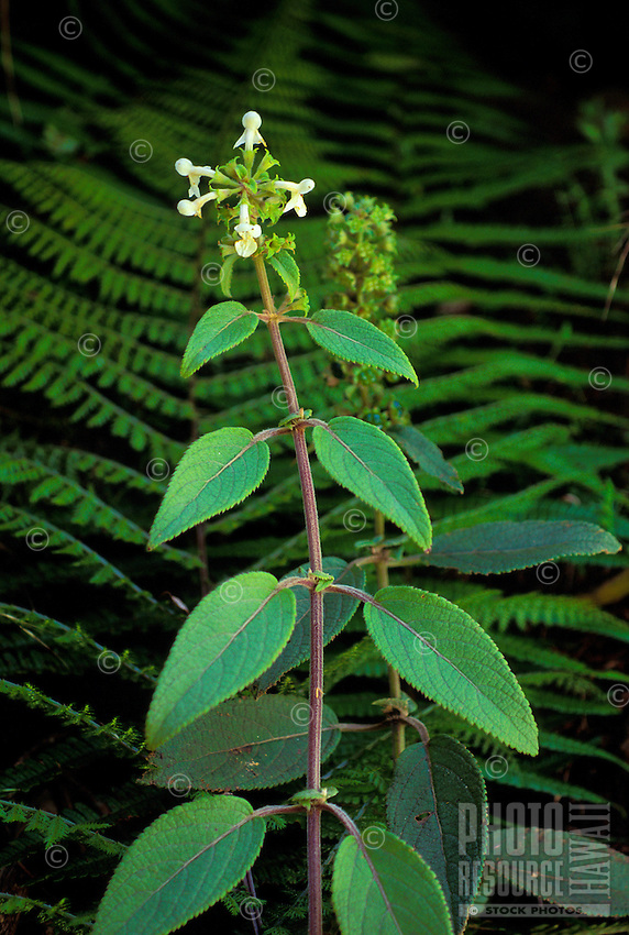 Endangered Hawaiian mint, Phyllostegia velutina,found only on the Big Island. One individual can be found at the Hakalau Forest National Wildlife Refuge.
