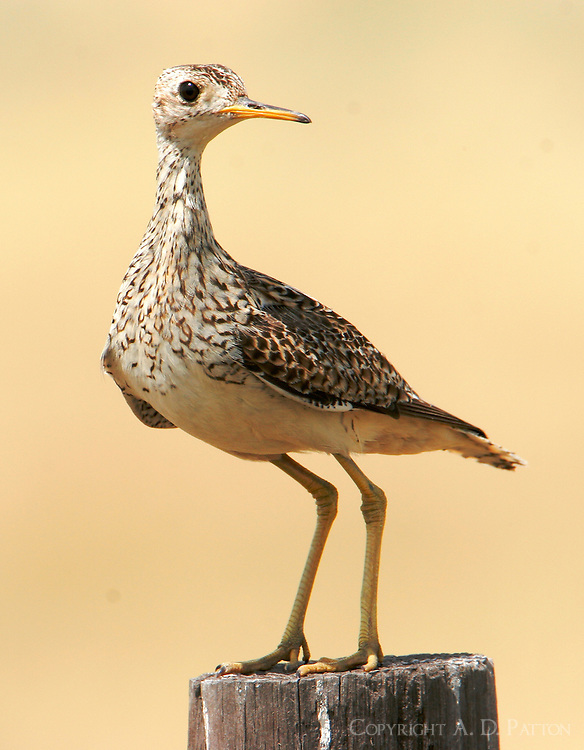 Adult upland sandpiper on breeding grounds
