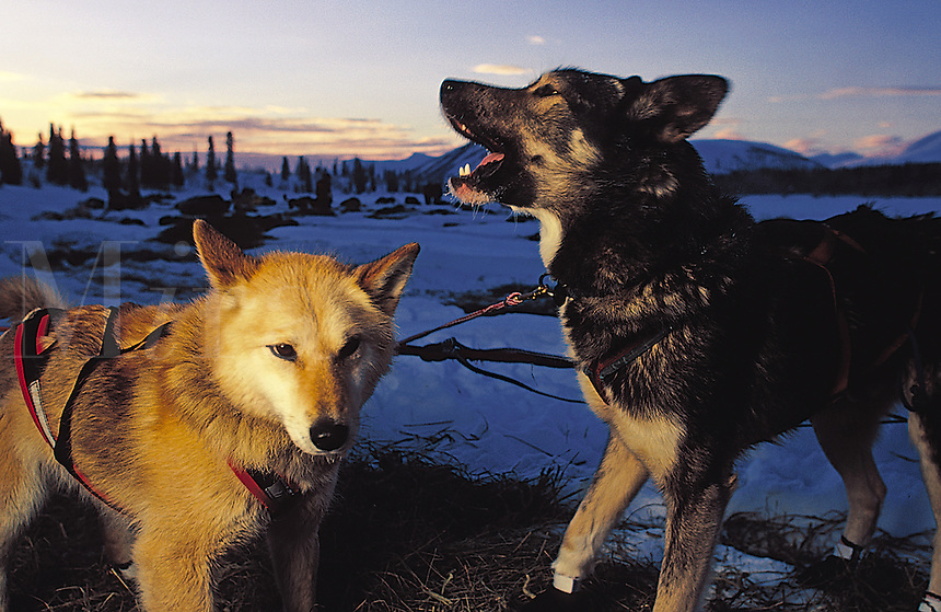 Excited sled dogs are eager to depart from a checkpoint in the Iditarod race.
