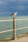 Hastings, East Sussex, England. Rock-a-Nore; seagull on railings against a steely sky and a green sea.