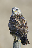 Rough-legged Hawk perched on a fence post