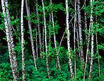 Olympic National Park, WA    <br /> Red Alder (Alnus rubra) grove at the dark forest edge
