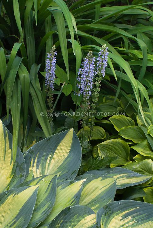 Hosta June with blue Salvia nemerosa 'Crystal Blue', Hosta Platinum Sun