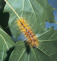 Sycamore Moth Larva - Acronicta aceris