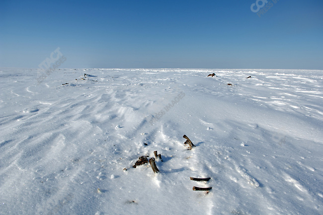 The bones of the carcasses of walruses left at a special point 5 miles from the village of Vankarem for polar bears to feast on at a safe distance from the local population. Chukotka Autonomous Okrug, Russia, April 5, 2007.