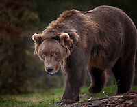 Large Grizzly Bear Walking towad camera with his head down