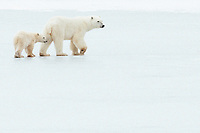 mother polar bear and ~10-month-old cub, near Churchill, CA, walk across frozen pond