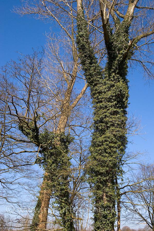 Efeu, Hedera helix, Common Ivy, English Ivy, Lierre grimpant