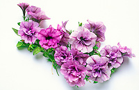 Double Petunia, pink lavender flowers, studio shot on white background, arrangement