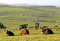 Beef cattle on the hill above the estate.
