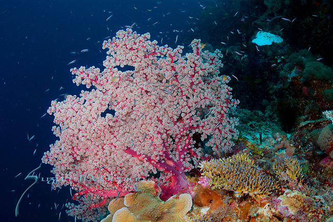 Amazing seafan , Larantuka, eastern end of Flores Island, East Nusa Tenggara, Indonesia. ,