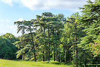 France, Indre-et-Loire (37), Montlouis-sur-Loire, jardins du château de la Bourdaisière, groupe de cèdres du Liban