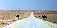 Libia, Ghadhames 2002.Cammelli  lungo la strada che porta a Ghadhames .Libya, Ghadhames 2002.Camels along the road that brings to Ghadhames