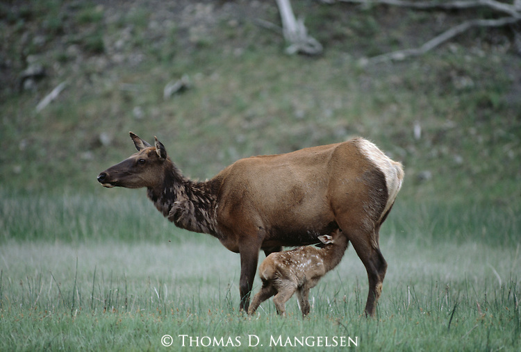 An elk feeds her calf along the Madison River in Yellowstone National Park, Wyoming.