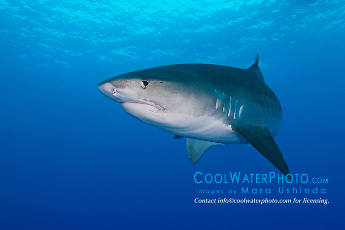 tiger shark, Galeocerdo cuvier, showing nictitating membrane (eyelid), West End, Bahamas, Atlantic Ocean