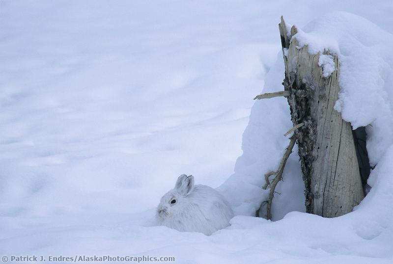 Snowshoe hare sits on the snow by an old spruce stump, Brooks range, Alaska