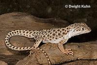 1R16-500z  Leopard Lizard, Gambelia wisilizenii