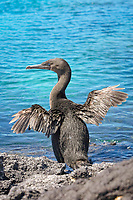 flightless cormorant, aka Galapagos cormorant, Phalacrocorax harrisi, drying its stubby wings after emerging from the ocean, Punta Albemarle, Isabella Island, Galapagos Islands, Ecuador, Pacific Ocean
