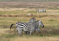 Grant's Zebra, Equus quagga boehmi, defecating in Ngorongoro Crater, Ngorongoro Conservation Area, Tanzania