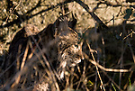 Wild Iberian Lynx, in profile, standing in vegetation in late afternoon light.