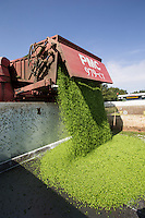 Harvesting vining peas, laoding trailer - Lincolnshire