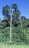 Para State, Brazil. Goal posts with a brazil nut tree (Bertholetia excelsa) behind, showing the size.