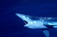 Free swimming blue shark, Prionace glauca, San Diego, California, USA, Pacific Ocean