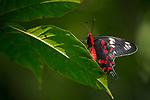 Crimson Rose (Pachliopta hector) male butterfly, Sigiriya, Sri Lanka