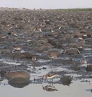 Semipalmated Sandpiper; Calidris pusilla; NJ, Delaware Bay