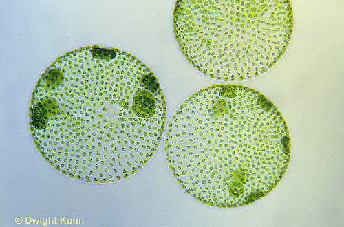 PX08-008a  Volvox -  Green Algae colony - Volvox spp.  100x