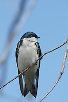 Swallow - Tree