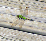 Dragonfly seen in the Esopus Bend Nature Preserve in Saugerties, NY, on Saturday, July 22, 2017. Photo by Jim Peppler. Copyright/Jim Peppler-2017.