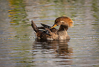 Female Hooded Merganser preening in evening light