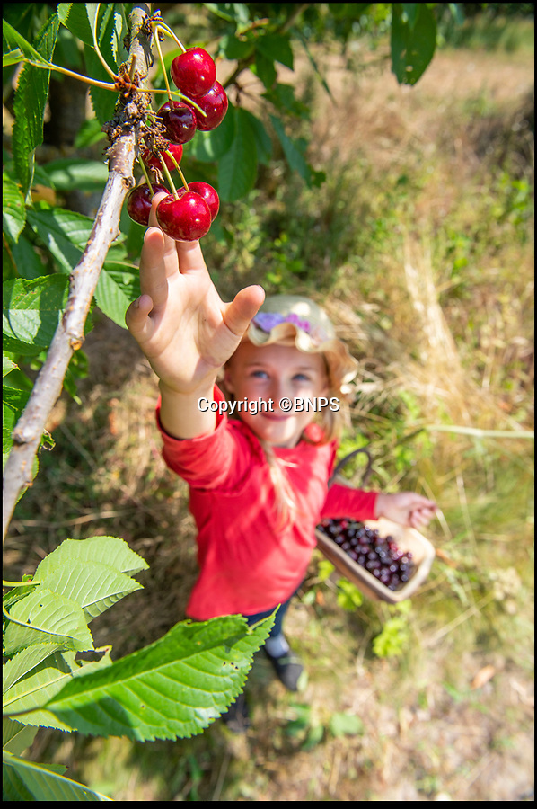 BNPS.CO.UK (01202 558833)<br /> Pic: PhilYeomans/BNPS<br /> <br /> Honor Davis picking the bumper crop of British cherries.<br /> <br /> As easy as picking cherries…<br /> <br /> An outdoor cherry farm is celebrating a bumper crop in this year's heatwave - making up for the previous year when the delicate fruit was wiped out by bad weather.<br /> <br /> Businesswomen Hayley Davis and Laurie Griffin harvest six different varieties from 5,000 trees on farmer John Hawkins farm in Dorset, and the hot summer has provided perfect conditions to ripen a record harvest.<br /> <br /> Falconer Mike Coleman has even been brought in to provide aerial protection to the tasty crop as the delicious berries are as popular with birds as with the Great British public.