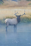 A bull elk stands in a river in Yellowstone National Park, Wyoming.
