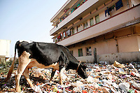 A cow picks through trash in a neighborhood where some of Reva Electric Car's workers live on the outskirts of Bangalore, India on Thursday, 04 January 2007.