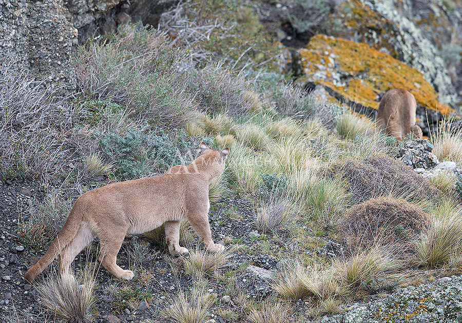 One of the more interesting interactions we witnessed centered around a female puma in heat.  She was courted by a couple different suitors.  Here, the younger male follows her hoping to get lucky.