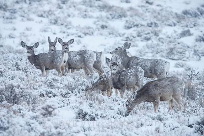 Mule Deer browsing on sage during a winter snow storm. Sublette County, Wyoming. March.